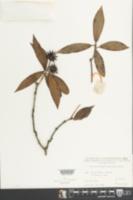 Image of Illicium ternstroemioides