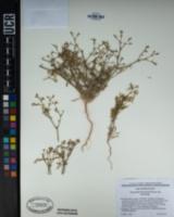 Chorizanthe brevicornu var. brevicornu image