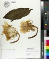 Image of Epiphyllum oxypetalum