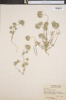 Gilia ciliata image