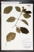 Eranthemum pulchellum image