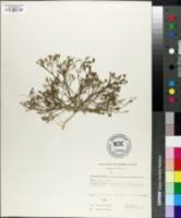 Tunica saxifraga image