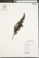 Image of Diplostephium ericoides