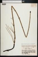 Equisetum ramosissimum image