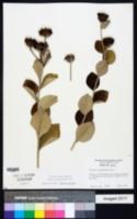 Image of Lessingianthus argyrophyllus