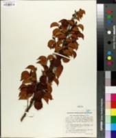 Image of Maprounea brasiliensis