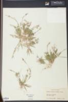 Image of Panicum concinnius