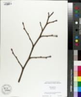 Tilia japonica image