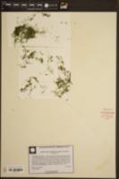 Image of Utricularia olivacea