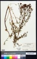 Hypericum perforatum image