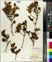 Image of Citharexylum ilicifolium