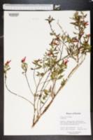 Image of Cuphea aspera