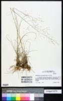 Image of Muhlenbergia reverchonii