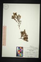 Image of Kalmia buxifolia