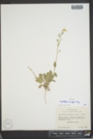 Synthlipsis greggii image
