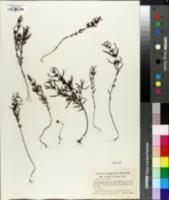 Image of Agalinis neoscotica
