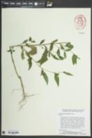Ludwigia decurrens image