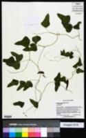 Phaseolus smilacifolius image