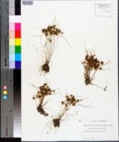 Cyperus cuspidatus image