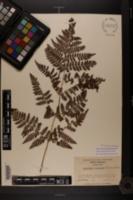Image of Dryopteris austriaca