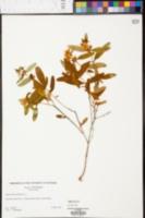 Hypericum prolificum image