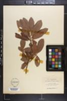 Image of Myrsine floridana