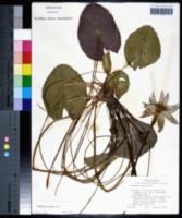 Nymphaea elegans image