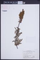 Image of Sibiraea angustata