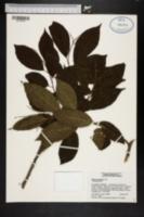 Ehretia acuminata image