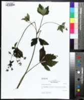 Image of Sanicula chinensis
