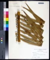 Cycas circinalis image