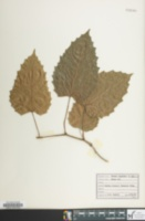 Image of Cissus capensis