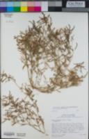 Acmispon strigosus image