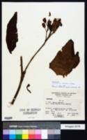 Image of Nicotiana setchellii
