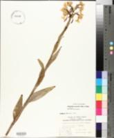 Image of Platanthera praeclara