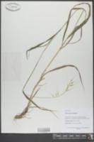 Elymus hystrix image