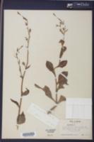 Nicotiana plumbaginifolia image
