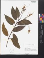 Image of Gesneria exserta