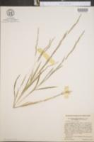 Muhlenbergia mexicana var. filiformis image