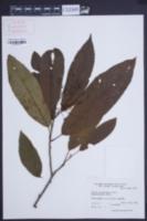 Meliosma myriantha image