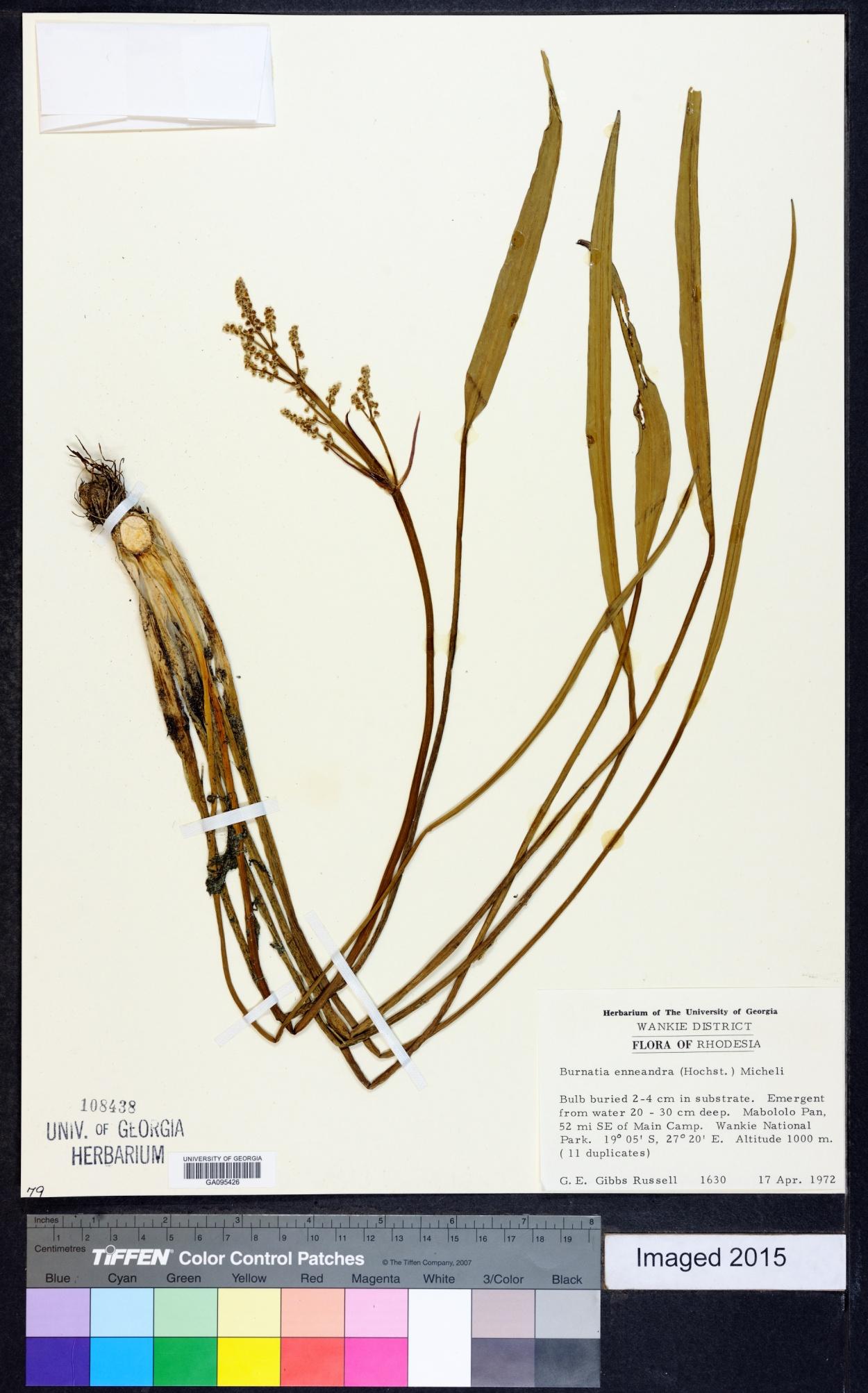 Burnatia enneandra image