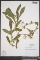 Hydrolea quadrivalvis image