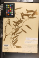 Calystegia pubescens image