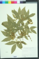 Acer triflorum image
