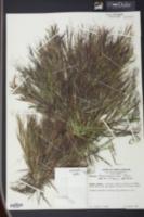 Image of Panicum chamaelonche