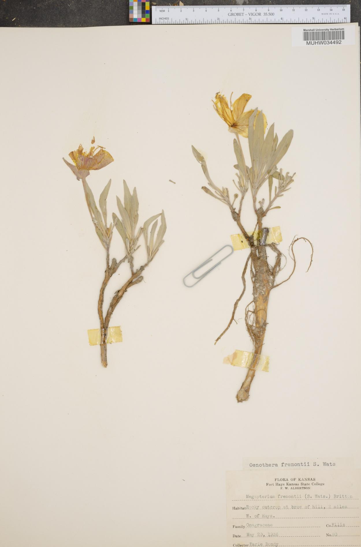 Oenothera fremontii image