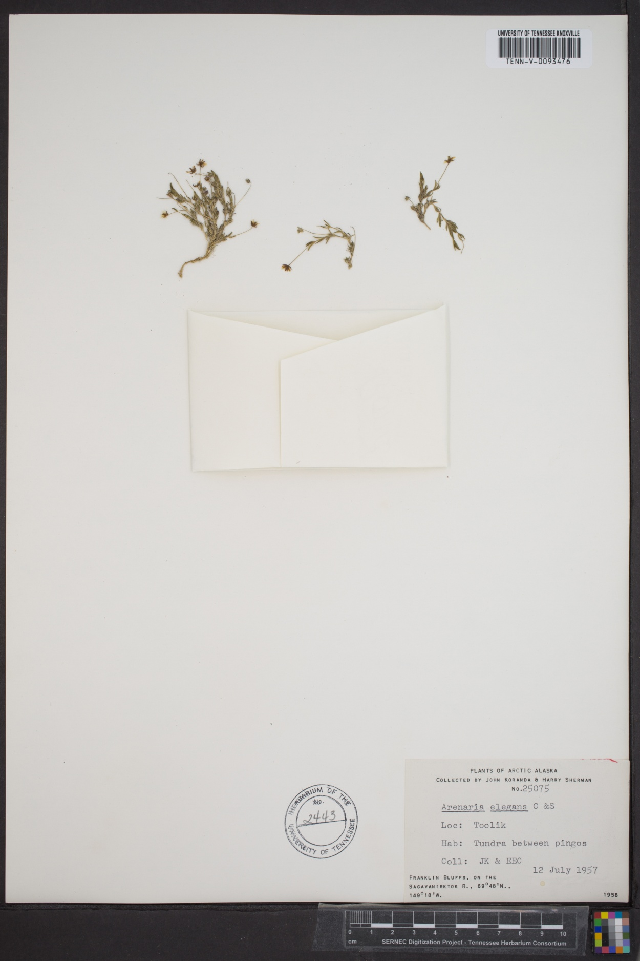 Arenaria elegans image