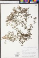 Galium obtusum image