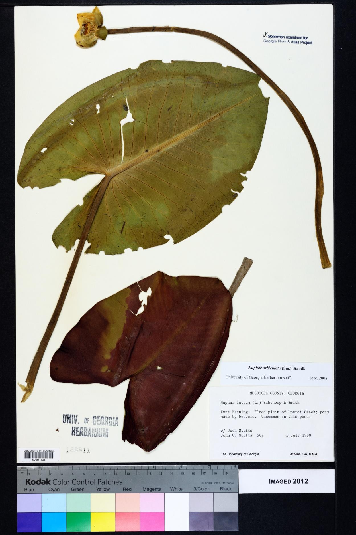 Nuphar lutea subsp. orbiculata image
