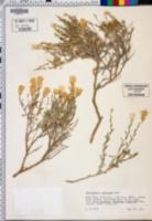 Haplopappus macronema image
